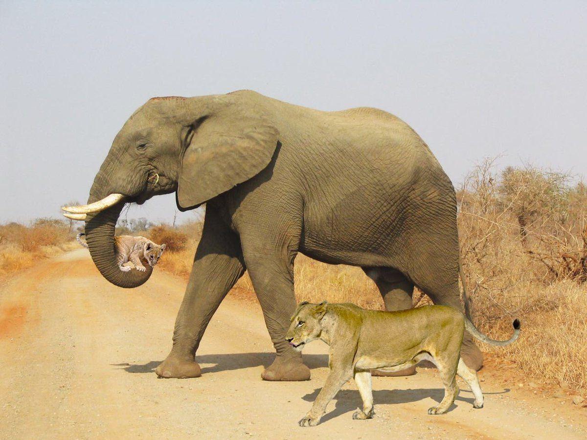 elephant carries lion cub