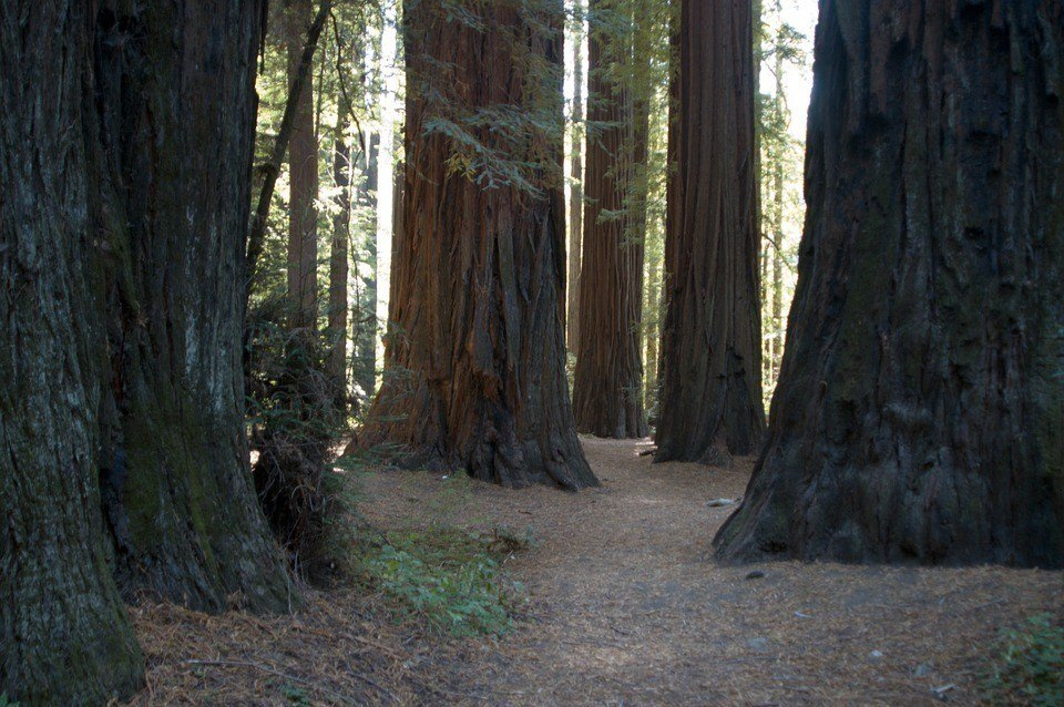 Redwoods | Giant Sequoias of California